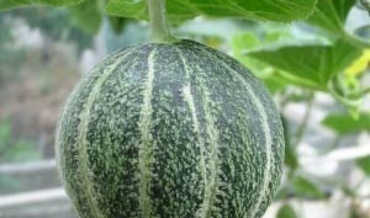 How To Grow Cantaloupe Mighty Guide Learn how to plant, grow, and harvest cantaloupe with this growing guide from the old farmer's almanac. how to grow cantaloupe mighty guide